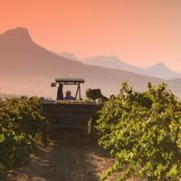 4. Chardonnay Harvest 2008 (050308)