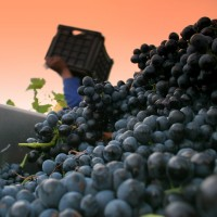 Shiraz Harvest 2008-13 (070308)