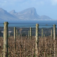 Vineyard with sea view